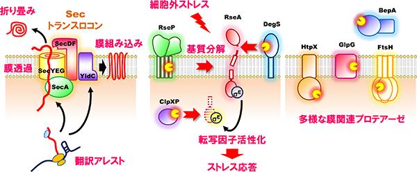 タンパク質膜透過・膜組み込み機構(左)、ストレス応答制御とタンパク質分解の分子機構(中央・右)