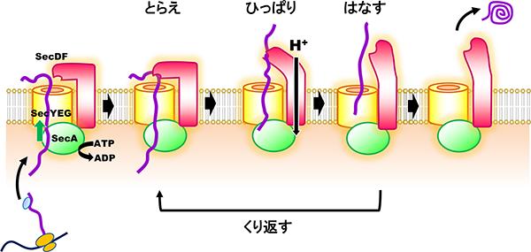 タンパク質の膜透過機構