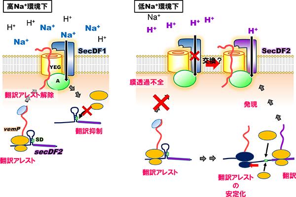 ビブリオ属細菌の翻訳アレストを介した異なる食塩環境への適応