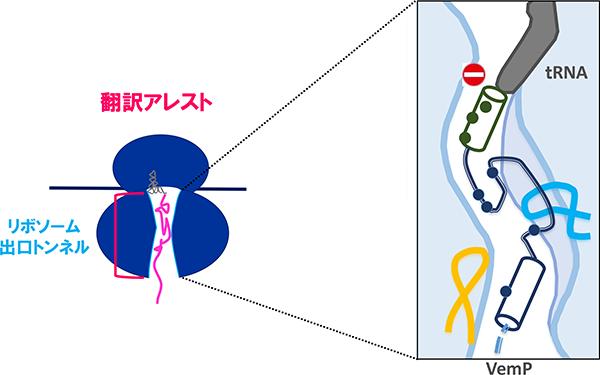 VemPのリボソーム出口トンネル内における翻訳アレストの安定化状態
