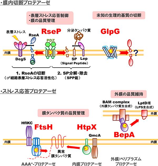 研究対象の膜関連プロテアーゼ