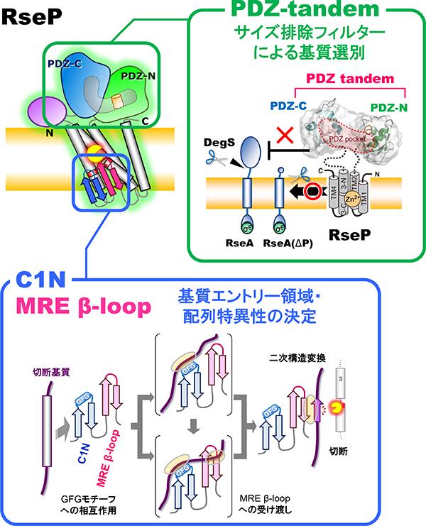 RsePの基質切断における各ドメインの役割